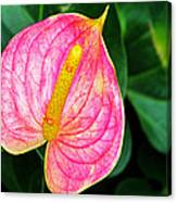 Pink Anthurium Canvas Print