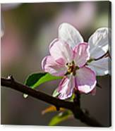 Pink Apple Blossom Canvas Print