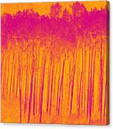 Pink Aspen Trees Canvas Print