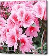 Pink Azalea In Bloom Canvas Print