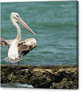 Pink-backed Pelican Looking Over Shoulder Canvas Print
