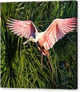 Pink Bird Flying - Spoonbill Coming In For A Landing Canvas Print