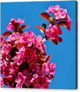 Pink Blossoms Blue Sky 031015aa Canvas Print