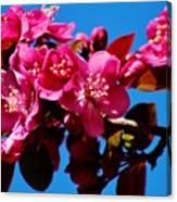 Pink Blossoms Closeup 031015a Canvas Print