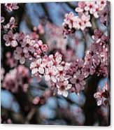 Pink Blossoms  Canvas Print