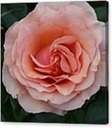 Pink Blush Rose I Canvas Print