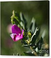 Pink Blush - Sweet Pea Bush  Canvas Print
