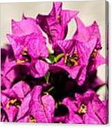 Pink Bougainvillea Classical Canvas Print