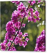 Pink Bougainvillea Sunshine Canvas Print