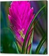 Pink Bromelaid Flower Canvas Print