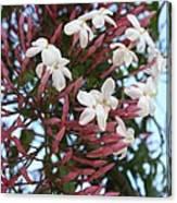 Pink Buds And Jasmine Blossom Close Up Canvas Print