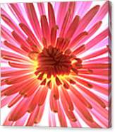 Pink Burst Canvas Print