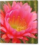 Pink Cactus Flower Of The Southwest Canvas Print