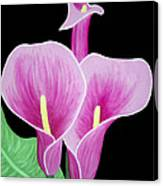 Pink Calla Lilies 1 Canvas Print