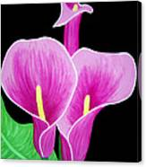 Pink Calla Lillies 2 Canvas Print