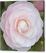 Pink Camelia Flower Canvas Print