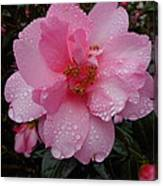 Pink Camelia With Droplets Canvas Print