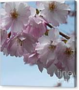 Pink Cherry Blossom Canvas Print