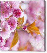 Pink Cherry Blossoms In Spring Orchard Canvas Print