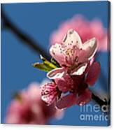 Pink Cherry Tree Blossom Canvas Print