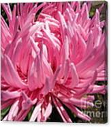 Pink China Aster Canvas Print
