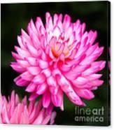 Pink Chrysanths Canvas Print