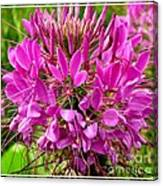 Pink Cleome Flower Canvas Print