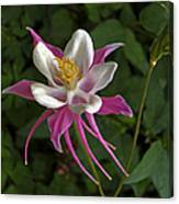 Pink Columbine Flower Canvas Print