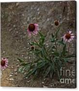 Pink Cone Flower's Close Up In A Road Canvas Print