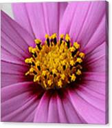 Pink Coreopsis Canvas Print