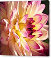 Pink Cream And Yellow Dahlia Canvas Print