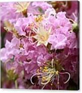 Pink Crepe Myrtle Closeup Canvas Print