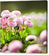 Bellis Perennis Pomponette Called Daisy Blooming  Canvas Print