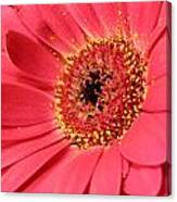 Pink Daisy Canvas Print
