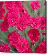 Pink Dianthus Flowers Canvas Print