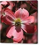 Pink Dogwood At Easter 3 Canvas Print