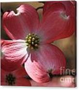 Pink Dogwood At Easter 4 Canvas Print