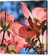 Transparent Glory Pink Dogwood Easter Flower Art Canvas Print
