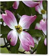 Pink Dogwood Blossom Up Close Canvas Print
