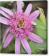 Pink Double Delight Echinacea Canvas Print