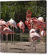 Pink Falmingos At The San Diego Zoo Canvas Print