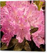 Pink Fiesta Canvas Print