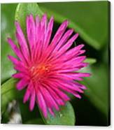 Pink Flower Of Succulent Carpet Weed  Canvas Print