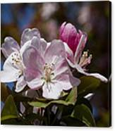 Pink Flowering Crabapple Blossoms Canvas Print