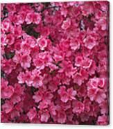 Pink Full Frame Azalea Blossoms Canvas Print