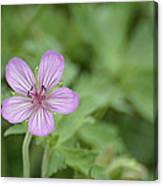 Pink Geranium In Bloom In Yellowstone Canvas Print
