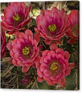 Pink Hedgehog Cactus Flowers  Canvas Print
