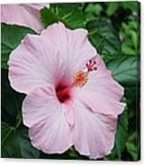 Pink Hibiscus #3 Canvas Print
