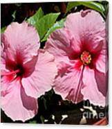 Pink Hibiscus Blooms Canvas Print