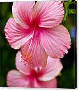 Pink Hibiscus Flowers Canvas Print